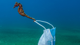 A seahorse clings to a face mask.  Stratoni, Greece