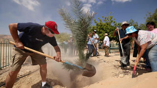 Kibbutz workers transplant 'Judith', a female palm germinated from 2,000-year-old seeds, in Kibbutz Ketura in southern Israel