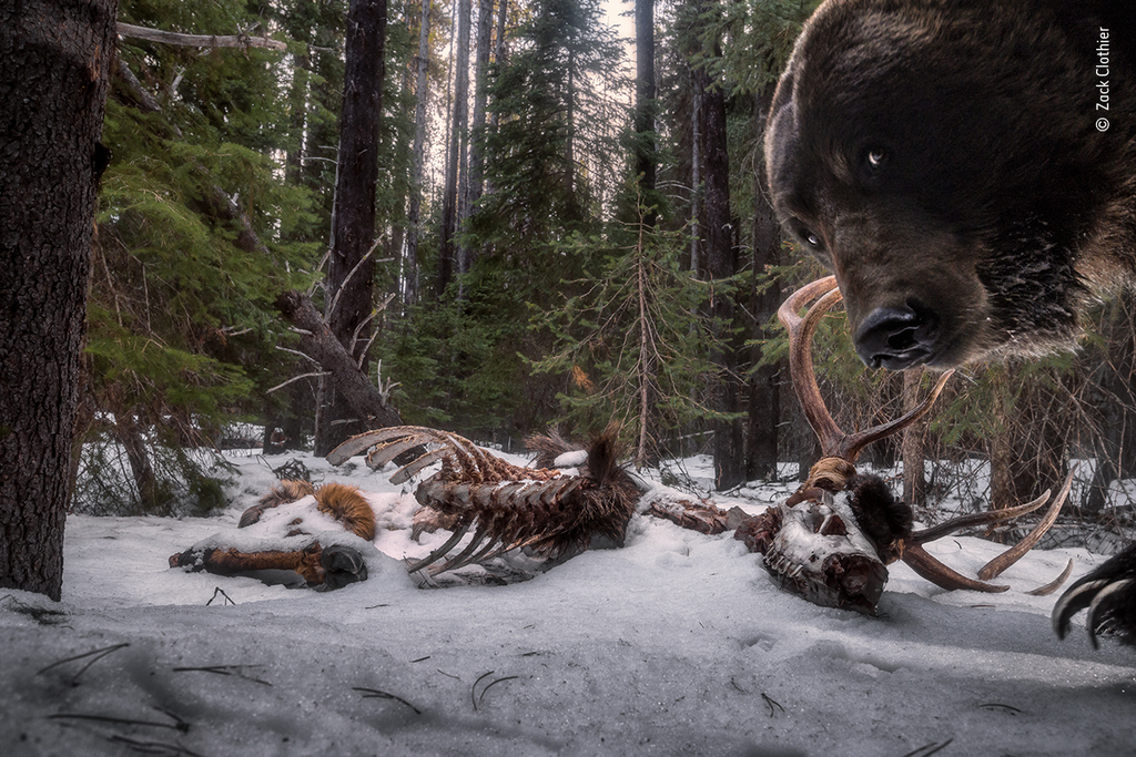 Grizzly leftovers