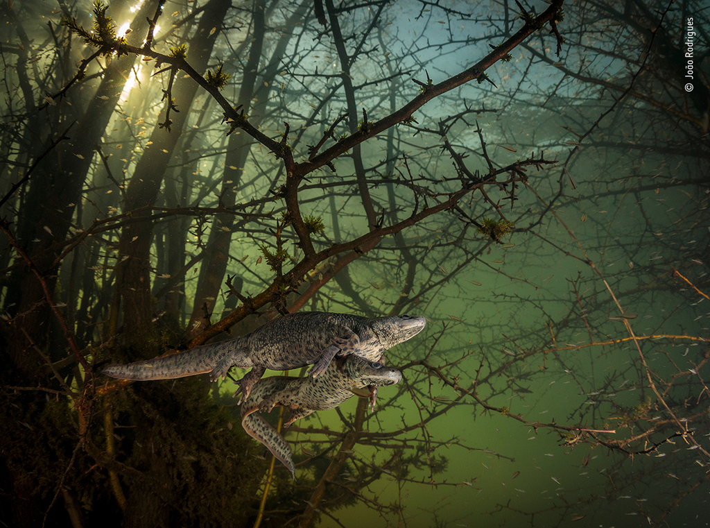 Where the giant newts breed