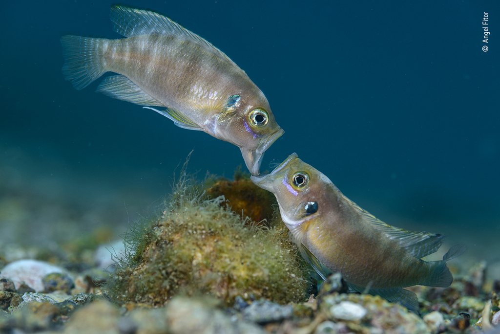Face-off, from Cichlids of Planet Tanganyika